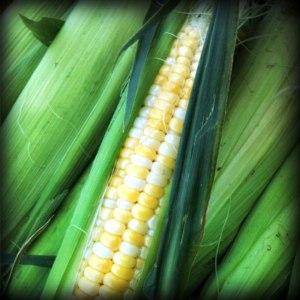 Oberdiek Sweet Corn