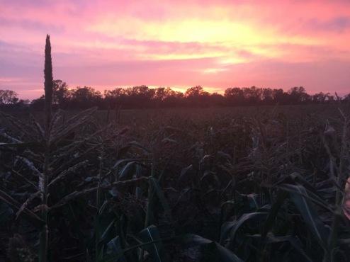 Sweet Corn at sunset
